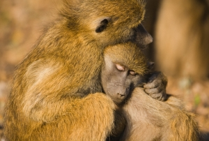 Peace Among Primates