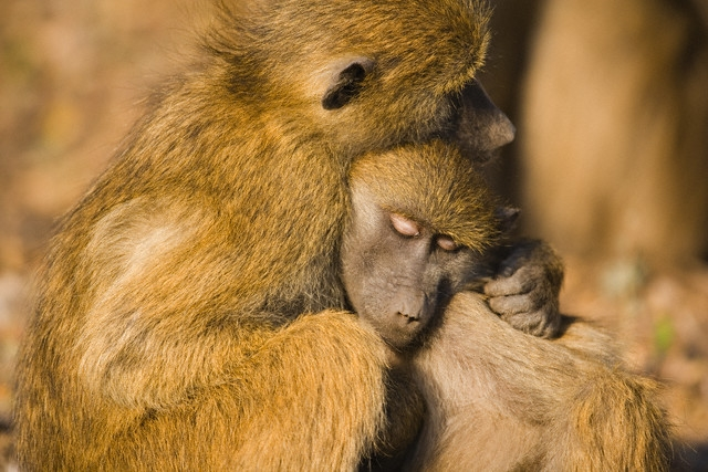 Peace Among Primates | Greater Good