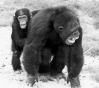 An example of consolation among chimpanzees: A juvenile puts an arm around a screaming adult male, who has just been defeated in a fight with his rival. Consolation probably reflects empathy, as the objective of the consoler seems to be to alleviate the distress of the other.