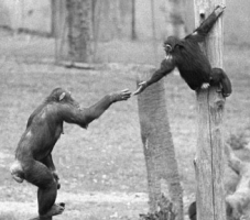 Cognitive empathy, where one understands the other's situation, enables helping behavior that is tailed to the other's specific needs. In this case, a mother chimpanzee reaches to help her son out of a tree after he screamed and begged for her attention.
