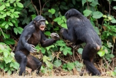 What Can Bonobos Tell Us about Ourselves?