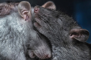 Even male rats can use a good hug to protect themselves from the effects of stress.