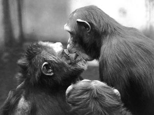 A female chimpanzee (right) kisses a male as they reconcile after a fight. Research has found similar examples of forgiveness and reconciliation across the animal kingdom.