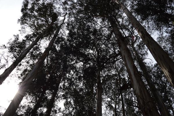 Eucalyptus Grove